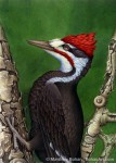 Pileated Woodpecker (10x14in Transparent Watercolor)