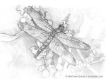 Calico Pennant Dragonfly Sketch