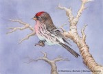 Common Redpoll (5x7in Transparent Watercolor)