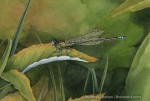 Male Eastern Forktail Damselfly Male (5x7in Transparent Watercolor)