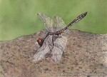 Dot-tailed Whiteface Dragonfly (5x7 in Transparent Watercolor)