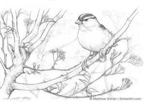 White-crowned Sparrow on Cherry Pencil Sketch