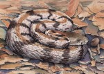 Timber Rattler Watercolor and Ink