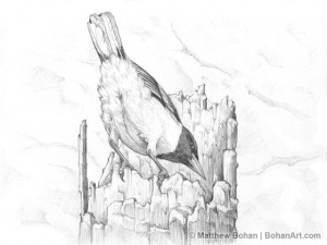 Baltimore Oriole from the Back Pencil Sketch