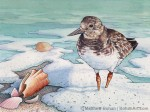 Winter Ruddy Turnstone Transparent Watercolor