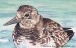 Winter Ruddy Turnstone Transparent Watercolor (Detail)