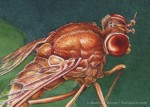 Marsh Fly Transparent Watercolor Detail (approximately 2 x 3 inches)