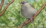 White-crowned Sparrow Transparent Watercolor (detail)
