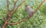 White-crowned Sparrow Transparent Watercolor
