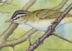 Red-eyed Vireo Watercolor and Ink (detail)