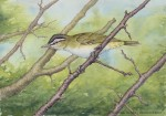 Red-eyed Vireo Watercolor and Ink