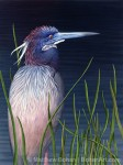 Tricolor Heron in Reeds (Transparent Watercolor on Arches 140lb HP 12.25 x 20.75 in)
