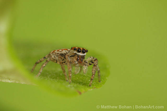 73f2a9a7d Maevia inclemens Dimorphic Jumper Female Canon 40d 100mm Macro 68mm  extension