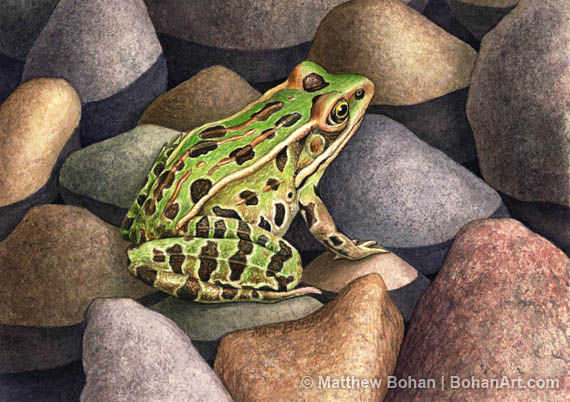 9c04b597b Leopard Frog Transparent Watercolor (5 x 7in)