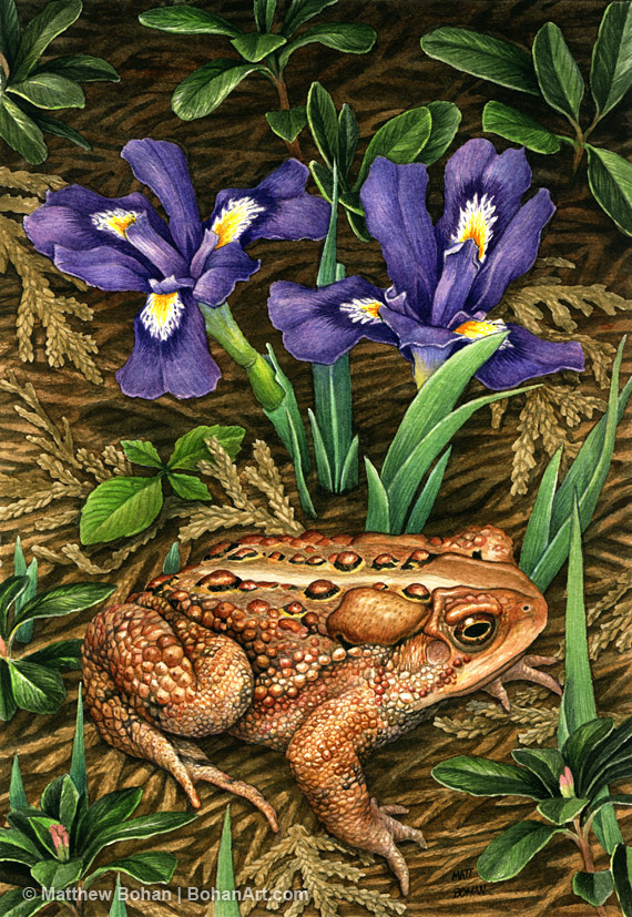 e3d4b56aa American Toad and Dwarf Lake Iris Transparent Watercolor (5 x 7in)