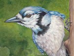 BLue Jay Transparent Watercolor (Detail)