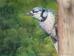 BLue Jay Transparent Watercolor