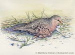 Common Ground Dove Transparent Watercolor