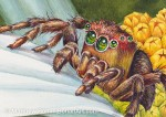 Immature Jumping Spider on Daisy (3 x 2.5 inch detail) 8 x 10 inch Transparent Watercolor