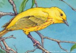 Yellow Warbler Detail (Transparent Watercolor & Ink on Arches 140lb HP paper, 7.5 x 11 inches)