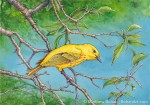 Yellow Warbler (Transparent Watercolor & Ink on Arches 140lb HP paper, 7.5 x 11 inches)