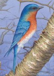 Male Bluebird on Hawthorn–Detail (Transparent Watercolor on Arches 140lb HP paper)