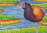 Wattled Jacana Transparent Watercolor (detail)