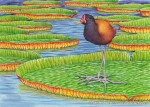 Wattled Jacana Transparent Watercolor (7.5 x 10.5 in)