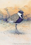 Spur-winged Plover Transparent Watercolor