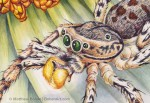 Male Dimorphic Jumping Spider Transparent Watercolor (Detail 2.5 x 3.5 in)