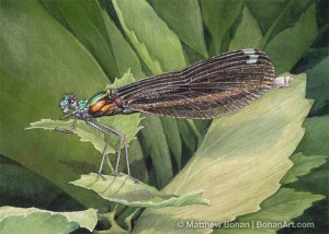 Ebony Jewelwing Female (5x7in Transparent Watercolor)