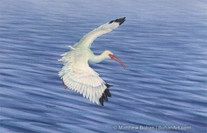 Landing White Ibis (5x7in Transparent Watercolor)