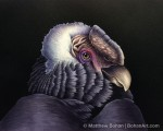 Andean Condor (8x10 in Transparent Watercolor on W&N 140 NCP Paper)