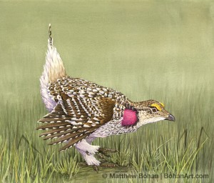 Sharp-tailed Grouse (10x14 in transparent watercolor on Lana Paper)