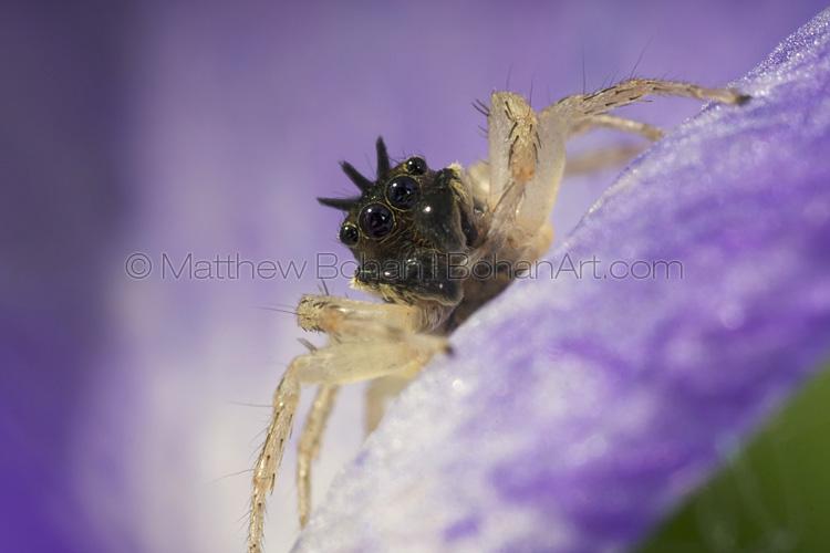 Male Dimorphic Jumping Spider Dark Phase
