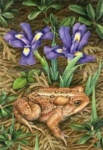 American Toad & Dwarf Lake Iris (10x7 in Transparent Watercolor)