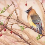 Cedar Waxwing Transparent Watercolor Time-lapse Video AND Step-by-step