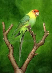 Carolina Parakeet Extinct (10x14 in. Transparent Watercolor)