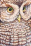 Eastern Screech Owl (2.5x3-in detail Transparent Watercolor on Arches 140lb HP Paper)