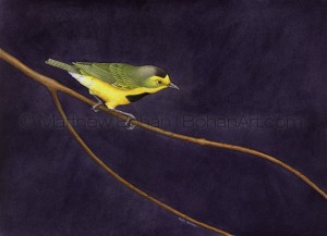 Bachman's Warbler (10x14 in. Transparent Watercolor)