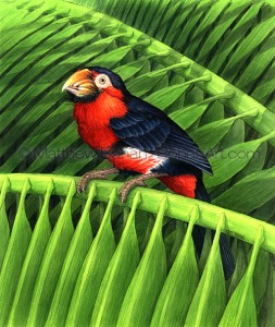 Bearded Barbet (Transparent Watercolor on 140lb HP Paper about 7.5 x 10 in)