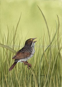 Dusky Seaside Sparrow Extinct (10x14 in. Transparent Watercolor)