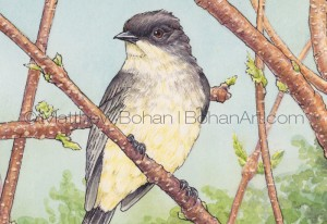 Eastern Phoebe on Staghorn Sumac (Detail from Transparent Watercolor and Ink 7x10 in)