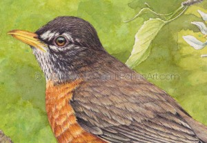 American Robin on Crab Apple (detail from 7x10 inch Transparent Watercolor)