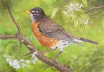 American Robin on Crab Apple (7x10 inch Transparent Watercolor)
