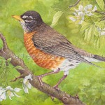 American Robin on Crabapple Tree Painting: Transparent Watercolor & Time-lapse Video