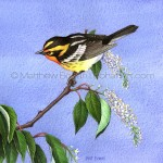 Blackburnian Warbler on Black Cherry (Transparent Watercolor on 140lb HP Paper 7.5 x 7.5 in)