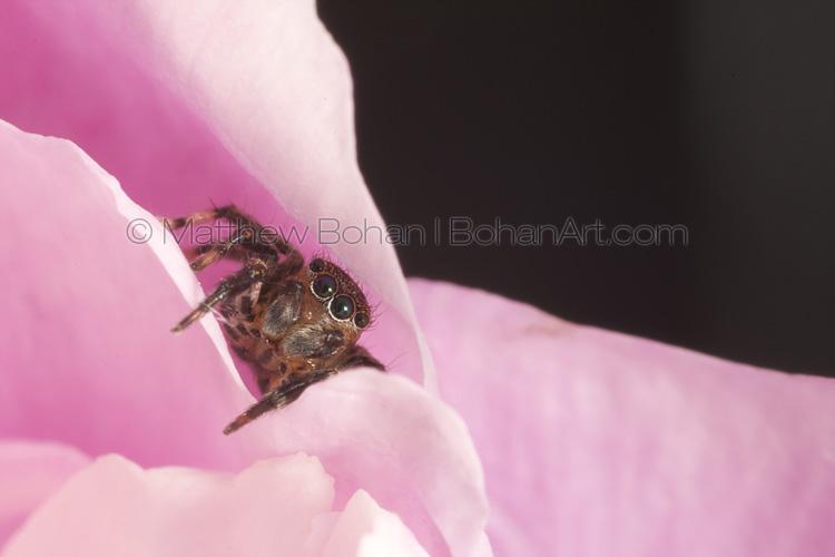 Euophyinae