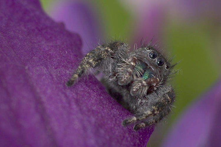 Daring Jumping Spider (Phidippus audax)