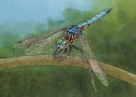 Blue Dasher Dragonfly (5x7 inch Transparent Watercolor)